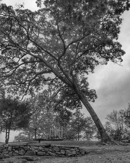 Fighting gravity's pull ✨😃 Blackandwhite Tadaa Community Tree Nature Outdoors Beauty In Nature Day Growth Sky Low Angle View