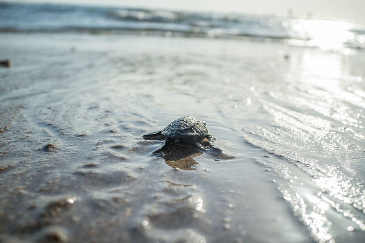 Releasing baby turtle on Kuta Beach. Bali Bali, Indonesia Animal Animal Themes Animal Wildlife Animals In The Wild Beach Cold Temperature Day Land Marine Nature No People One Animal Outdoors Reptile Sand Sea Selective Focus Small Water Winter