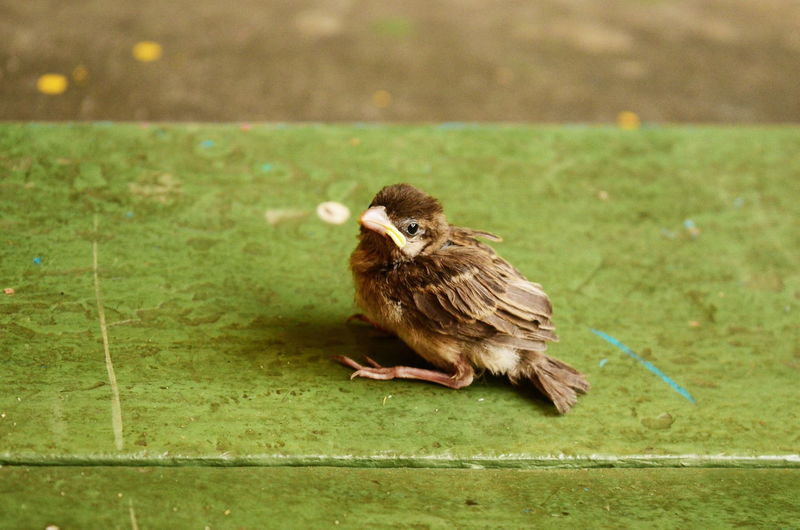Close-up of sparrow perching on grass