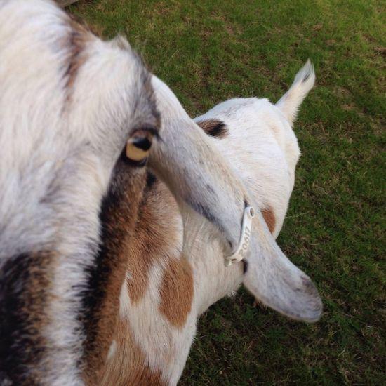 Billy Goat Yellow Eye Floppy Ears Green Grass
