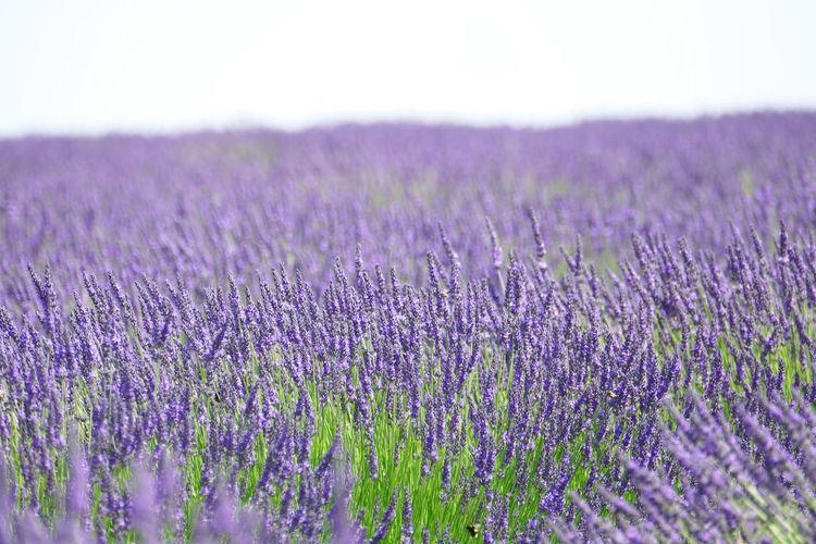 'Lavender III'