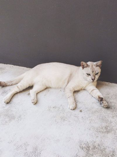 High angle view of white cat against wall