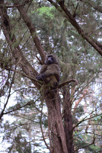 Baboon on a tree Animal Animal Themes Animal Wildlife Animals In The Wild Baboon Branch Day Focus On Foreground Low Angle View Mammal Nature No People One Animal Outdoors Plant Sitting Squirrel Tree Tree Trunk Trunk Vertebrate