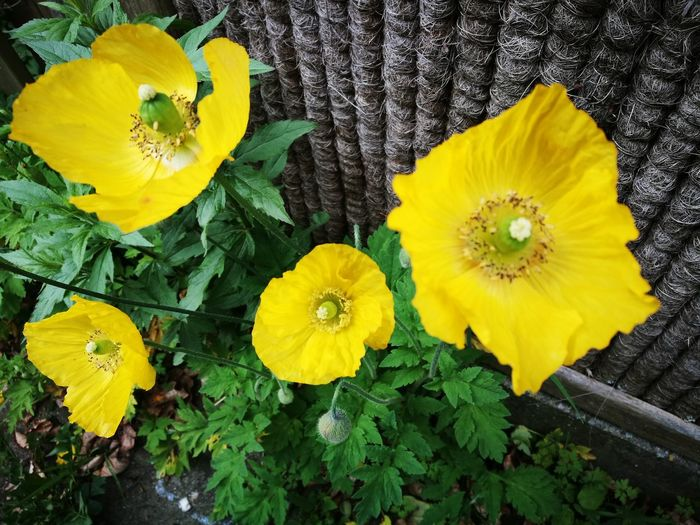 """""""One to yellow"""" Flower Yellow Petal Fragility Flower Head Freshness Leaf Growth Nature Beauty In Nature Plant Close-up Green Color Outdoors Day No People Springtime Multi Colored"""