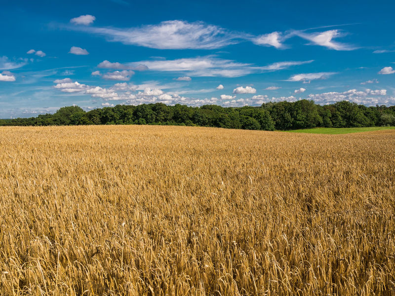Landscape with corn field and trees. Agriculture Cereal Plant Cloud - Sky Cornfield Day Farm Field Forest Growth Kühlungsborn Landscape Nature No People Outdoors Rural Scene Scenics Sky Tree