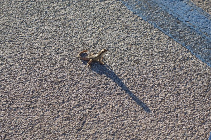 The City Light Lizard Street Sunlight Shadow Animal Themes High Angle View One Animal Outdoors No People Cohabitation Lizard's Shadow Afternoon Asphalt Lookingup Sunlight And Shadow