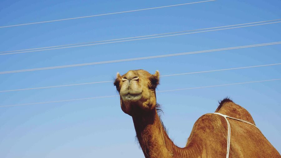Low angle view of animal against clear blue sky