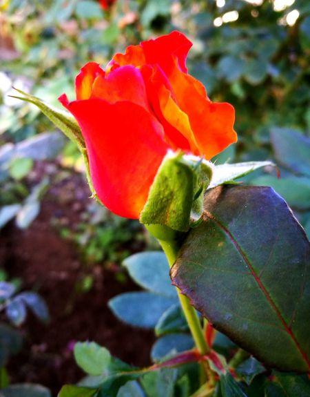 Flower Plant Beauty In Nature Freshness Rose🌹