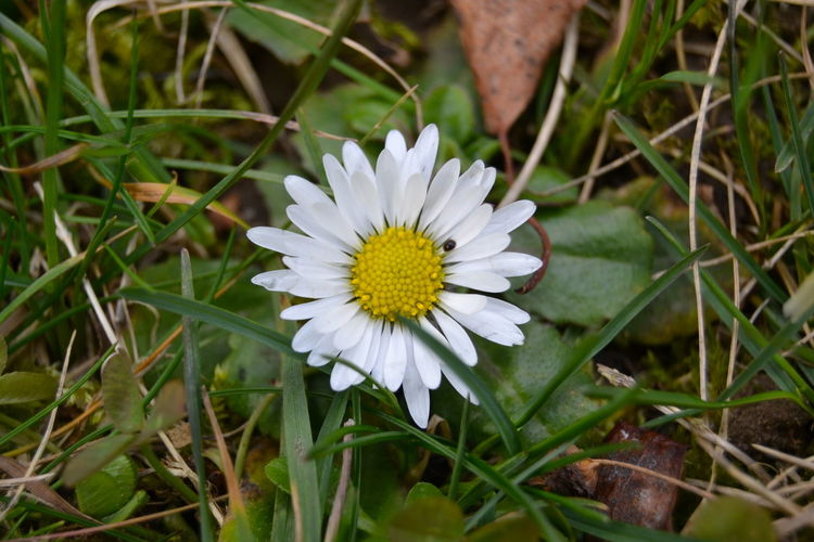 Beauty In Nature Close-up Daisy Daisy Flower Day First Daisy Flower Flower Head Fragility Freshness Grass Growth Nature Nature Nature Collection No People Outdoors Petal Plant White Color WhiteCollection Wild Flowers
