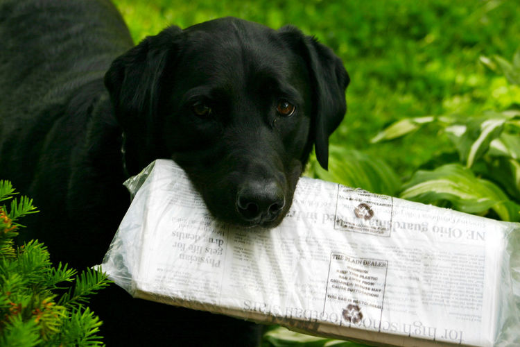 Animal Head  Animal Themes Black Labrador Close-up Dog Dog Fetching News Paper Dogs Domestic Animals Fetching Looking At Camera Loyalty One Animal Pets