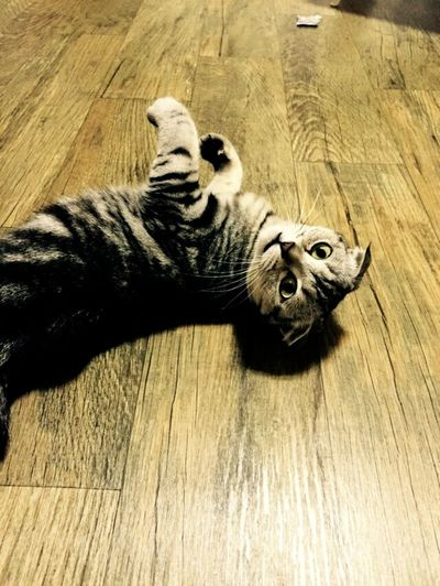 Pponyang 뽀냥이 집사 Scottishfold Cats