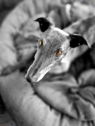 Dog Animal Themes Pets One Animal