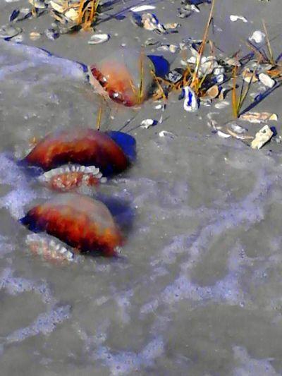 Animals In The Wild Beauty In Nature Canon Ball Jelly Fish Fish Jellyfish Masonboro Island NC Sea Creatures Sea Life Underwater Wildlife Wrightsville Beach