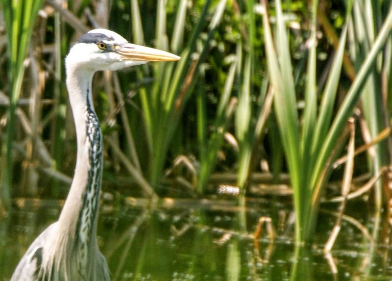 Animal Animal Head  Animal Neck Animal Themes Animal Wildlife Animals In The Wild Beak Bird Day Focus On Foreground Heron Lake Nature No People One Animal Plant Profile View Side View Vertebrate Water Water Bird