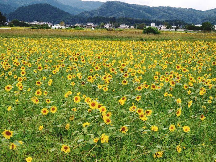 Marumori Flower Sunflower