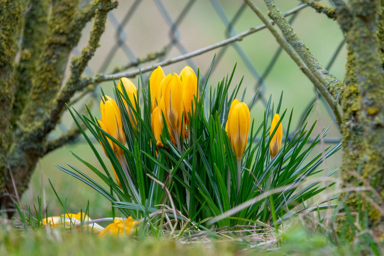 yellow crocuses in spring Plant Flowering Plant Flower Yellow Freshness Growth Beauty In Nature Fragility Vulnerability  Selective Focus Nature Grass Close-up No People Day Flower Head Green Color Inflorescence Petal Springtime Outdoors Crocus Iris
