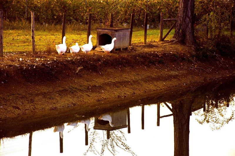 Autumn colors Reflections In The Water Goose Gooses Family Tree Plant No People Tree Trunk Trunk Nature Autumn Mood Animal Themes Animal Animals In The Wild Group Of Animals