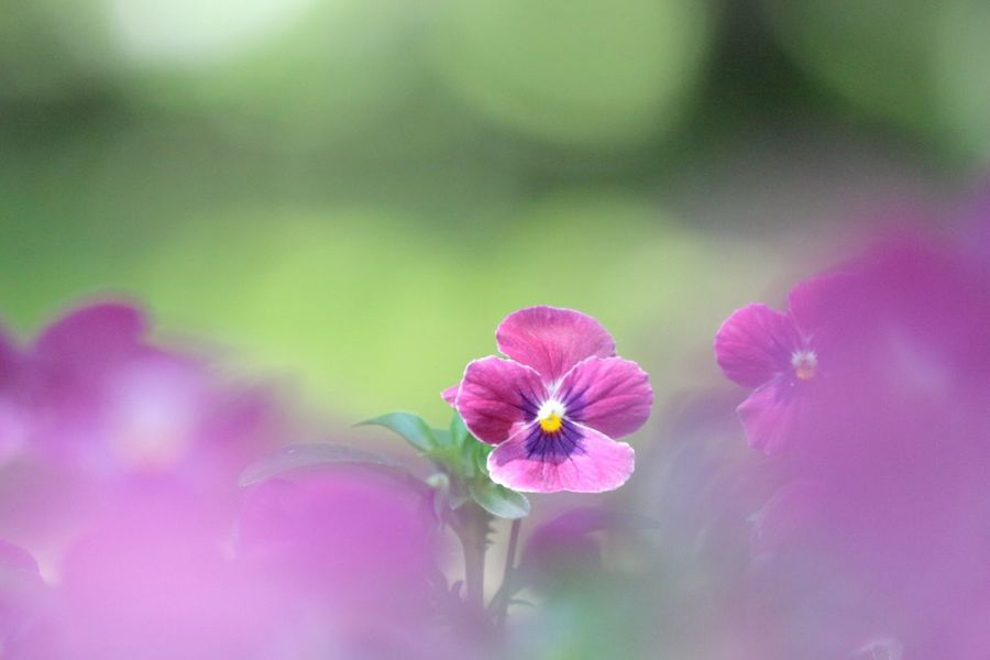ココにいるよ✨ Flower Flower Head Beauty In Nature Blossom EyeEm Best Shots - Nature EyeEm Flower EyeEm Best Shots - Flowers EyeEmBestPics EyeEm Best Shots EyeEmBestEdits Flower Power Beautiful Flowers Flower Collection Flower Photography Beauty In Nature 前ボケ 花 Flower ビオラ Viola Flowerlovers Flowers_collection Canon Bokeh Canon_photos