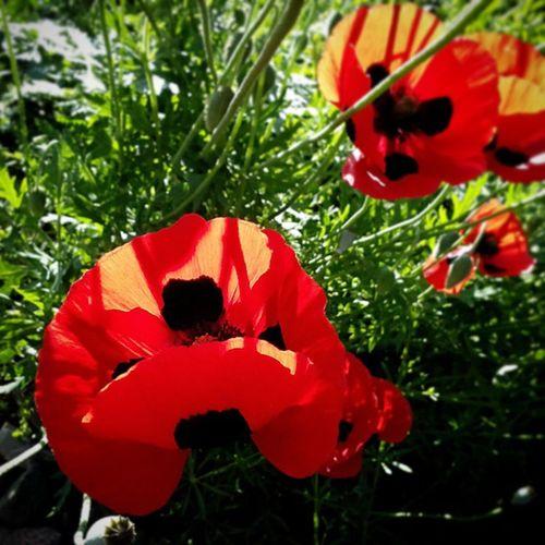 Flowers Flower Flowers,Plants & Garden Flower Photography Flowers, Nature And Beauty Flowerlovers Blossom Unfold Open Up  Summer Sumertime Sumer&relax Summer ☀ Sunrise Sunday Poppy Poppy Flowers