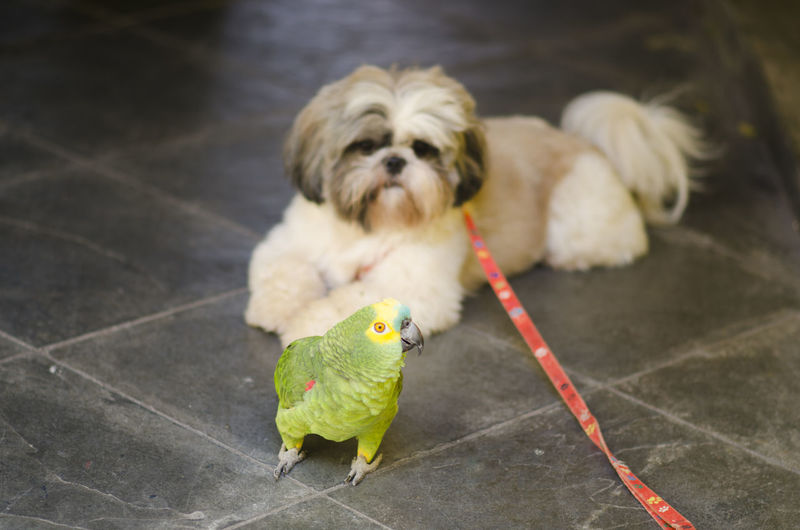 Animal Themes Animal Pets Domestic Domestic Animals Mammal One Animal Vertebrate Dog Canine Small No People Shih Tzu Young Animal Lap Dog Cute Portrait Puppy Tiled Floor Parrot Fun Wildlife