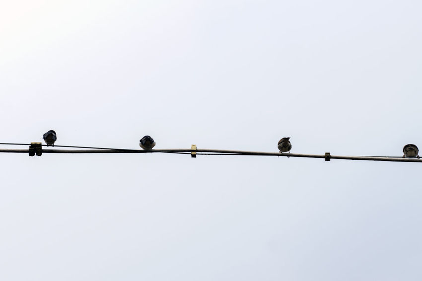 Birds on a power line in Germany Animal Animal Themes Animal Wildlife Animals In The Wild Bird Cable Clear Sky Day Electricity  Nature No People Power Line  Sky