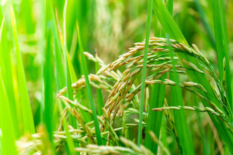 Close-Up Of Cereal Plant