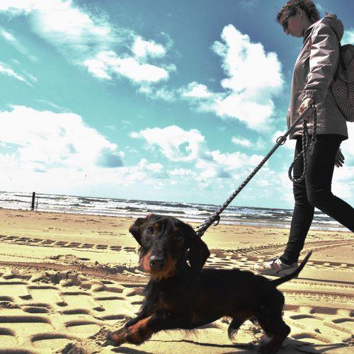 Netherlands Dashchund Teckel Sea Beach Castricum