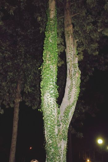Tree Tree_collection  No People Outdoors Green Color Growth Nature Beauty In Nature Night Nightphotography Canon1200d Canonphotography Canon_photos Beauty In Nature Plants Plants Photography Plants Collection Plantsandflowers BeatyInTheNight Tranquility Trowbackphoto BeautyInTheDark Trowback