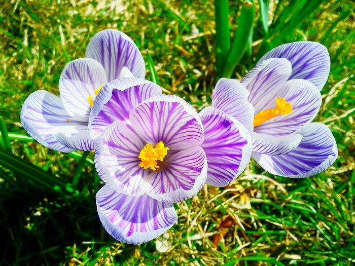 Spring Flowers Flowers Crocus Purple Crocus Beautiful Nature Spring Has Arrived The First Flower Up Comes The Sprout Flower Spring Into Spring