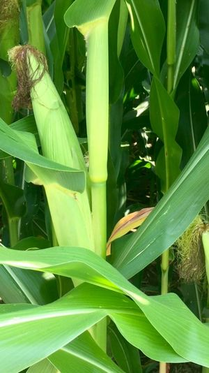 Backgrounds Beauty In Nature Botany Close-up Corn Day Focus On Foreground Fragility Full Frame Green Green Color Growing Growth Leaf Leaves Lush Foliage Natural Pattern Nature No People Outdoors Plant Selective Focus Tranquility