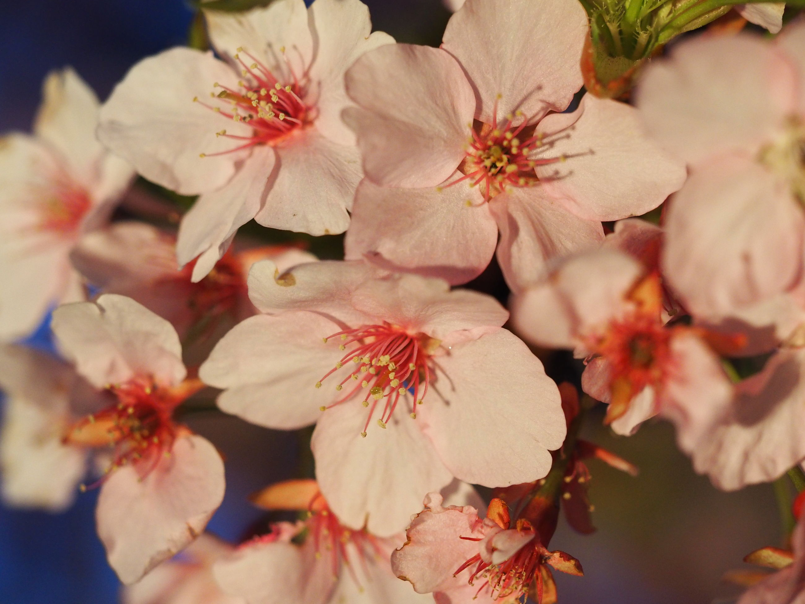 flower, freshness, fragility, petal, growth, beauty in nature, branch, nature, close-up, cherry blossom, blossom, flower head, pink color, in bloom, white color, blooming, tree, stamen, focus on foreground, cherry tree