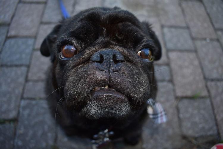 my Pug Rocky my best model One Animal Pets Domestic Dog Animal Animal Themes Close-up Pug EyeEmNewHere