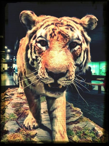 Tiger Favorite Animal