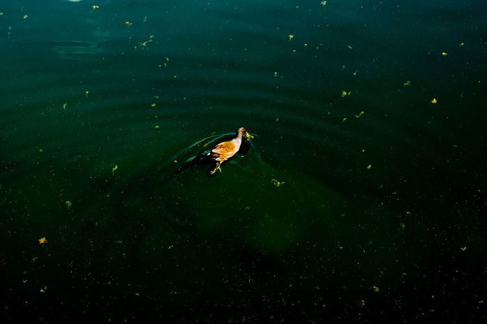 Black Duck London Pond Animals In The Wild Blue Canada Water Duck Floating On Water Green Color Lake Marine Nature Water EyeEmNewHere