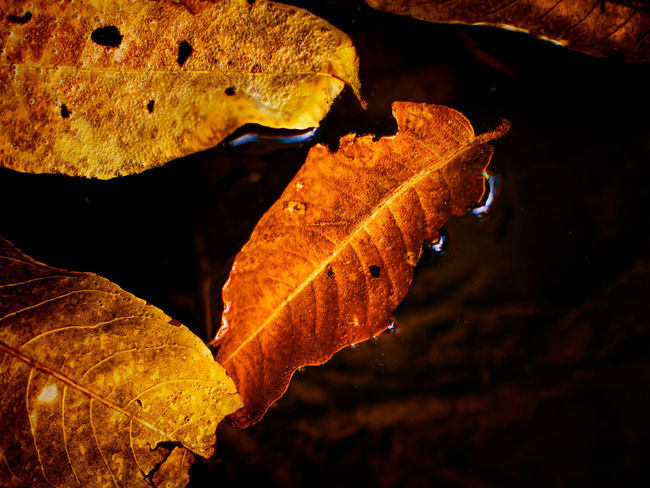 Aging Animal Themes Autumn Beauty In Nature Change Close-up Dry Environment Focus On Foreground Fragility Leaf Maple Maple Leaf Nature Night No People Orange Color Outdoors Water