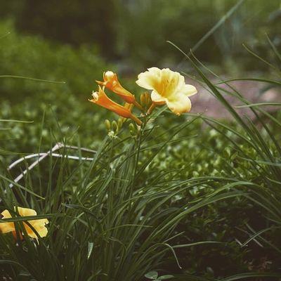 🌼💛 Katessaproductions Katessa Pretty Photography photographer photooftheday picoftheday amateurphotogtapher floral flower home instalike nature