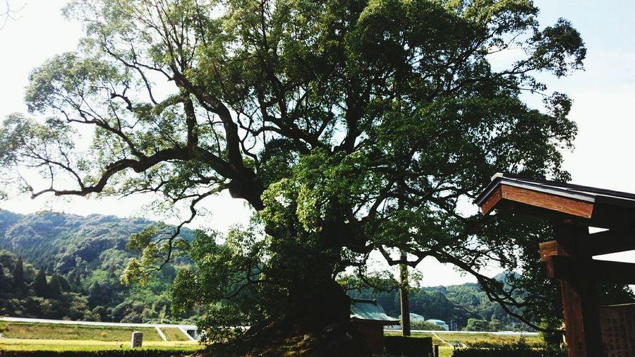 佐賀県 川古の大楠 樹齢 3000年 以上。木の根元に座っておしゃべりしていた、3人のおばあちゃんたちみてイロイロおもいついちゃった( ´罒`*)✧