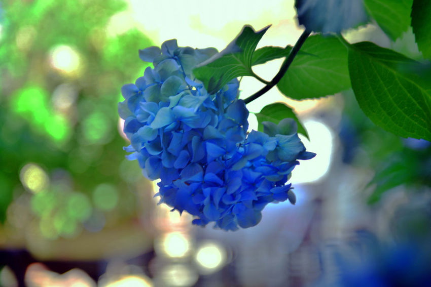 Beauty In Nature Blue Bunch Of Flowers Close-up Day Flower Flower Head Flowering Plant Focus On Foreground Fragility Freshness Growth Hydrangea Inflorescence Leaf Lilac Nature No People Outdoors Petal Plant Plant Part Vulnerability