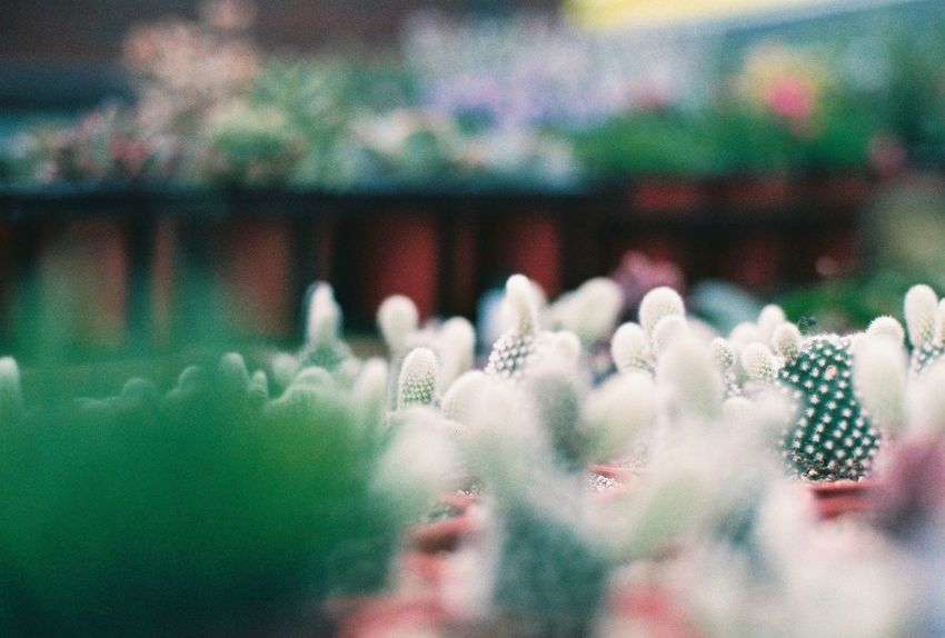 까칠하다 Film Photography South Korea Film Seoul Flower Picture Photography Filmcamera Nature 35mm Love Fujifilm First Eyeem Photo Nature No People Close-up Beauty In Nature Day Neon Life 사진 필름사진 필름카메라 필름