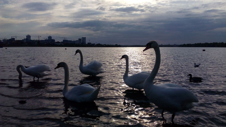 They Are So Cute! Swans Swans On The Lake Swans Of Eyeem Large Group Of Animals Animals In The Wild Swimming White Color Animal Themes Animal Wildlife Togetherness Scenics Beauty In Nature Tranquility Nature Sunset Water Bird Outdoors Bird Swimming Swan