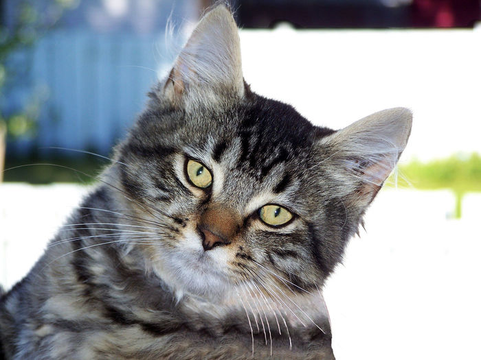 Close-up of a Taby cat looking straight at the camera. Animal Themes Close-up Day Domestic Animals Domestic Cat Feline Focus On Foreground Indoors  Looking At Camera Mammal No People One Animal Pets Portrait Whisker