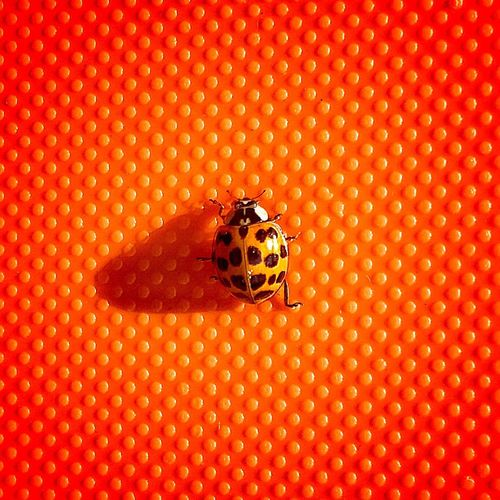 Close-up of ladybug on red leaf