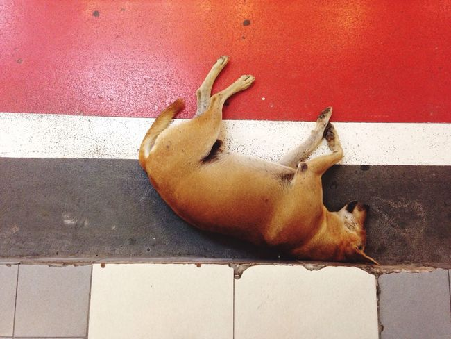 Sleepy Thai Street Dog Brown Dog Sleepy Top Shot On The Floor Sleep Tide Side Road Bangkok Thailand Siam Square