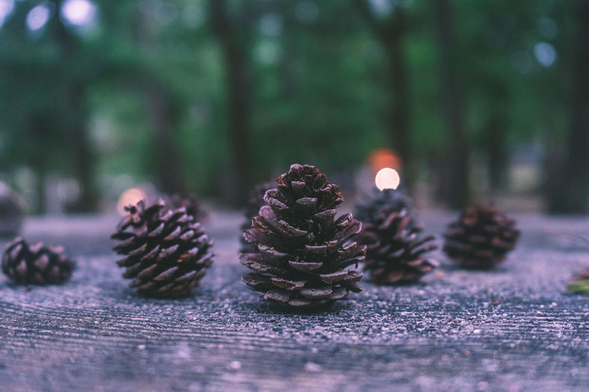 AMPt_community EyeEm EyeEm Best Shots Japan Beauty In Nature Brown Close-up Coniferous Tree Day Food Food And Drink Freshness Growth Land Nature No People Pinaceae Pine Cone Pine Tree Plant Selective Focus Shootermag Shot Of The Day Still Life Surface Level Tree