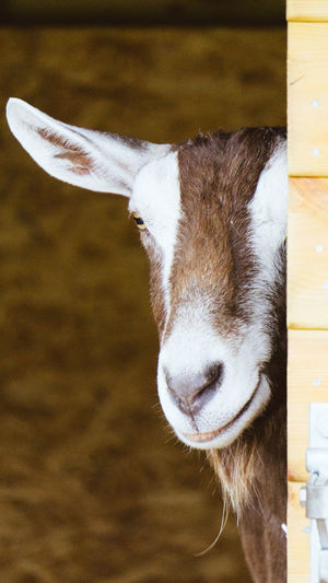 Animal Head  Close-up One Animal No People Brown Domestic Animals Looking At Camera Indoors  Day Animal Themes Portrait Mammal Toggenburg Goat Toggenburg Goat Hike In The Woods Farm Animals Farm Life Livestock Romford Essex Hainault Forest In England Sheep Farm Hiding From The World