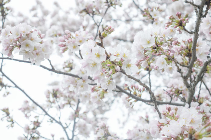 Beauty In Nature Blooming Blossom Branch Cherry Blossom Cherry Tree Close-up Flower Focus On Foreground Fragility Freshness Growth In Bloom Low Angle View Nature Petal Springtime Tree Twig White Color