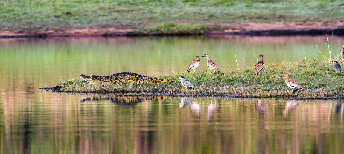 Crocodile walking towards birds on lakeshore