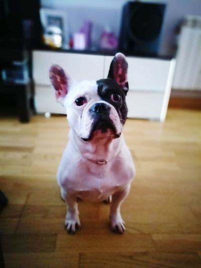 Homer Bulldogfrances Nature Animals Dog Love Dog Bulldogfrench Bulldog Animal Animal Photography DogLove Dogmodel