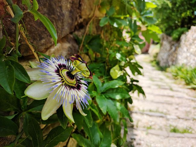 Blüte einer Passionsfrucht, die an einem Feldweg wächst. Passionsfrucht Passion Flower Maracujá Feldweg Natur Nature Flower Plant Petal One Animal Nature Flower Head Beauty In Nature Purple Freshness Close-up
