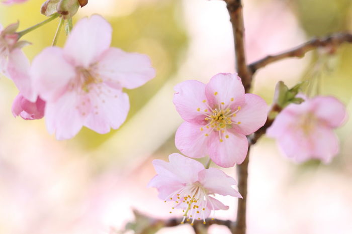 Pink Color Cherry Blossoms Flower Flower Head Plant Petal Springtime Beauty In Nature EyeEm Best Shots 河津桜
